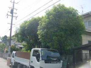 金木犀 伐採