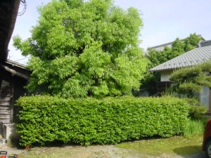 岐阜 庭木の伐採