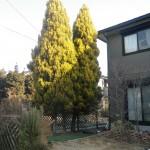 羽島市 庭木伐採